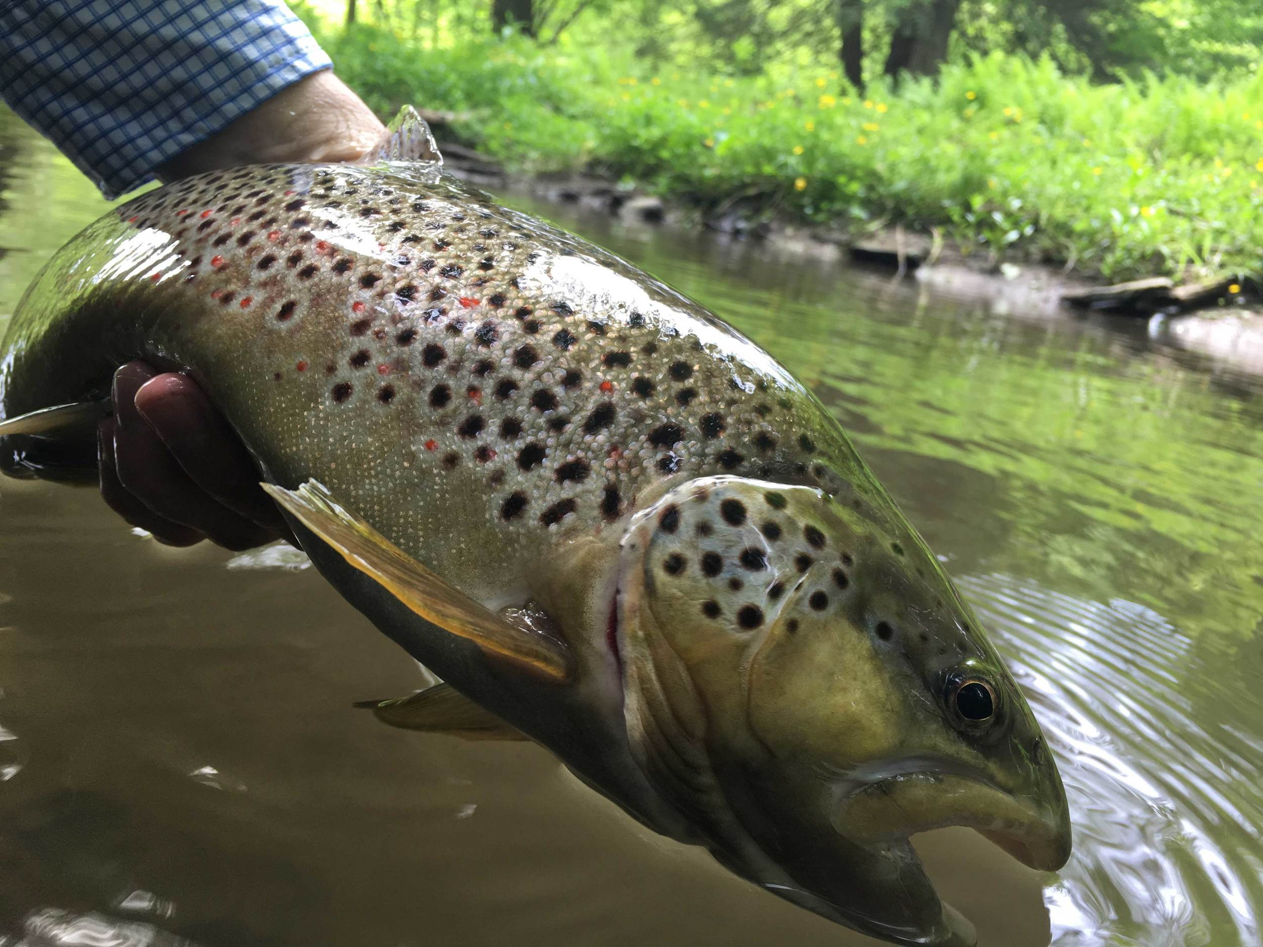 The large wild brown trout I caught upstream.