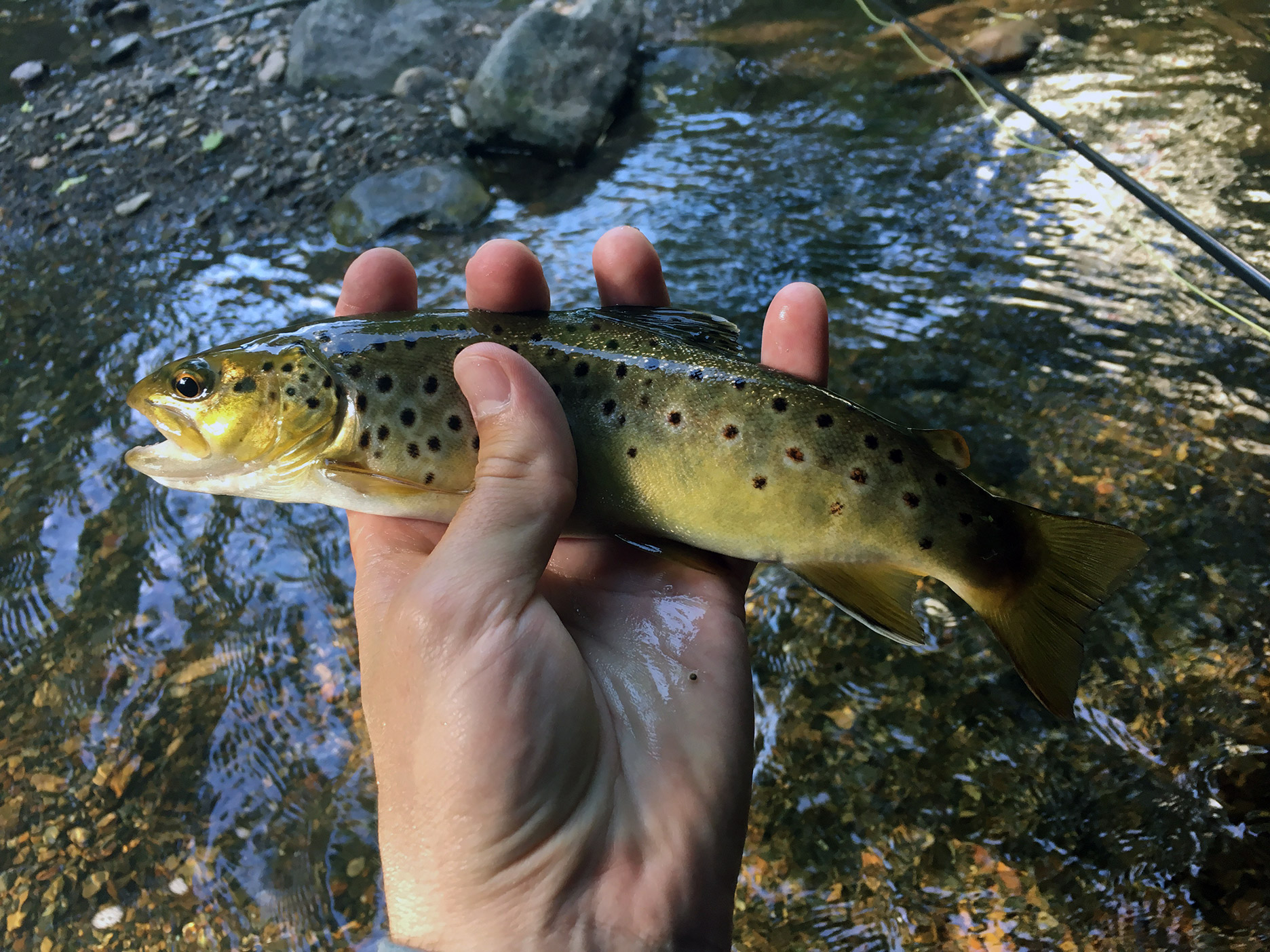 The wild brown trout from the deep pool that took my tan Caddisfly.