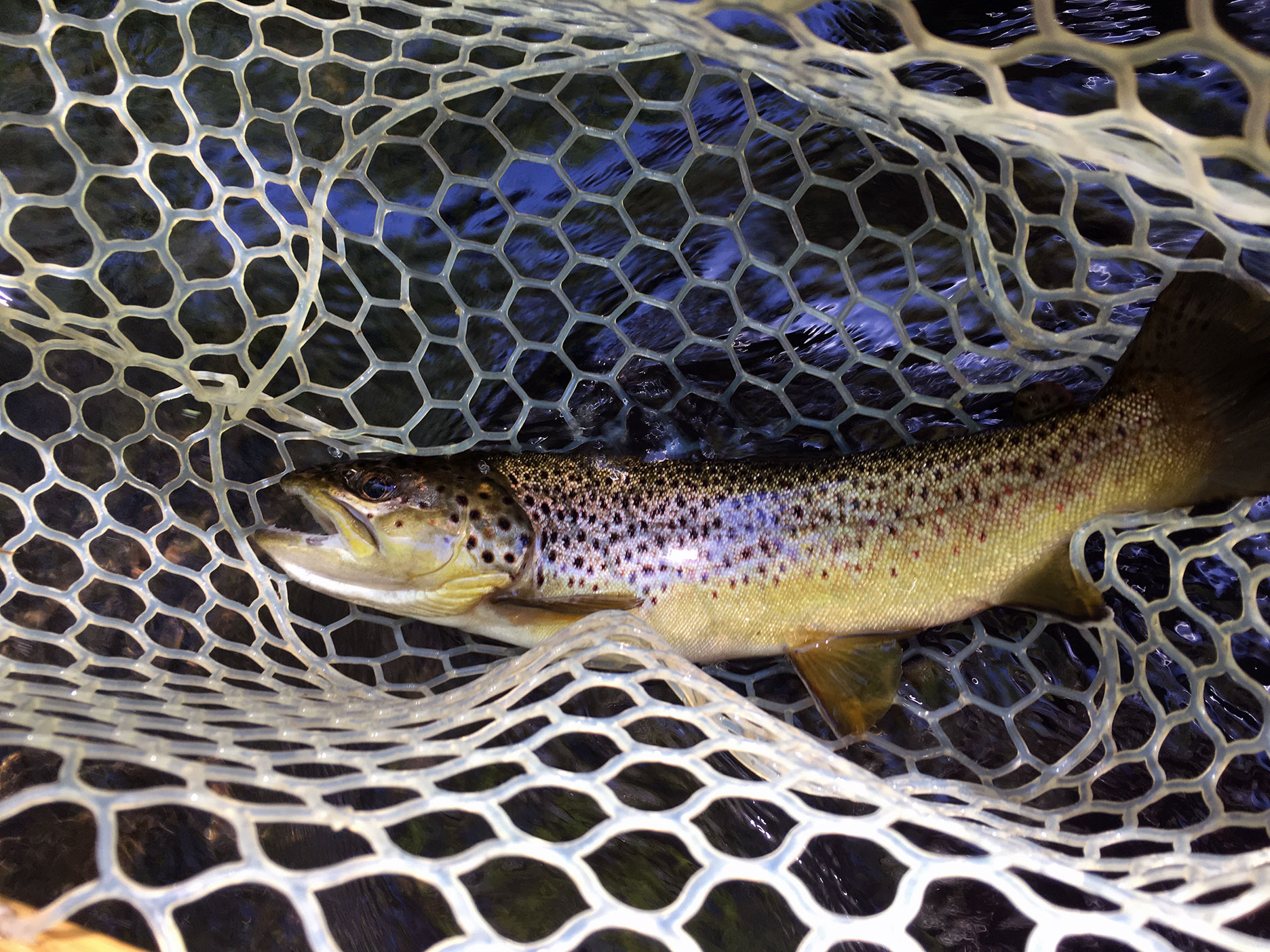 My first Little Schuylkill brown trout.