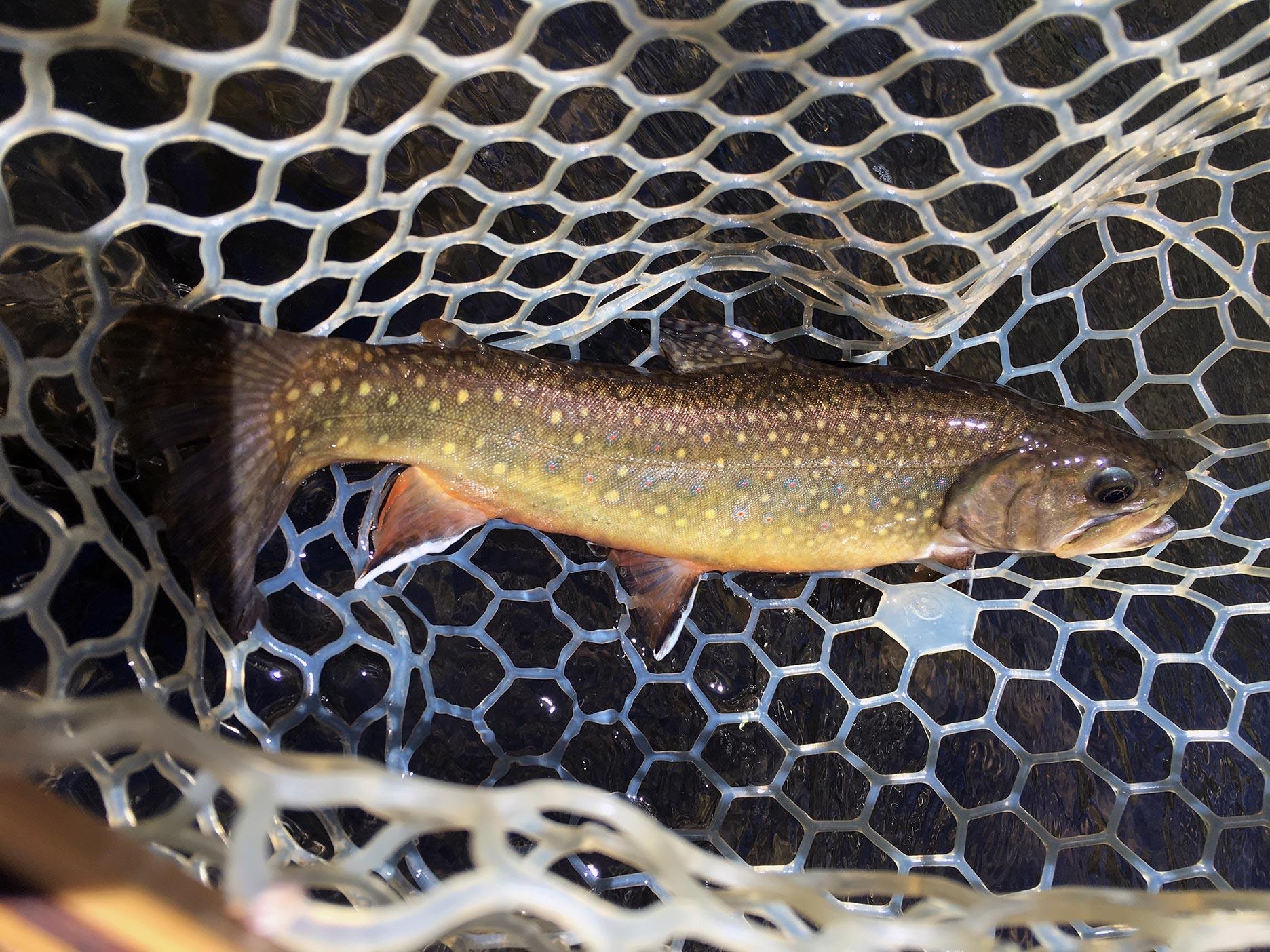 A beautiful Little Schuylkill Brook Trout.