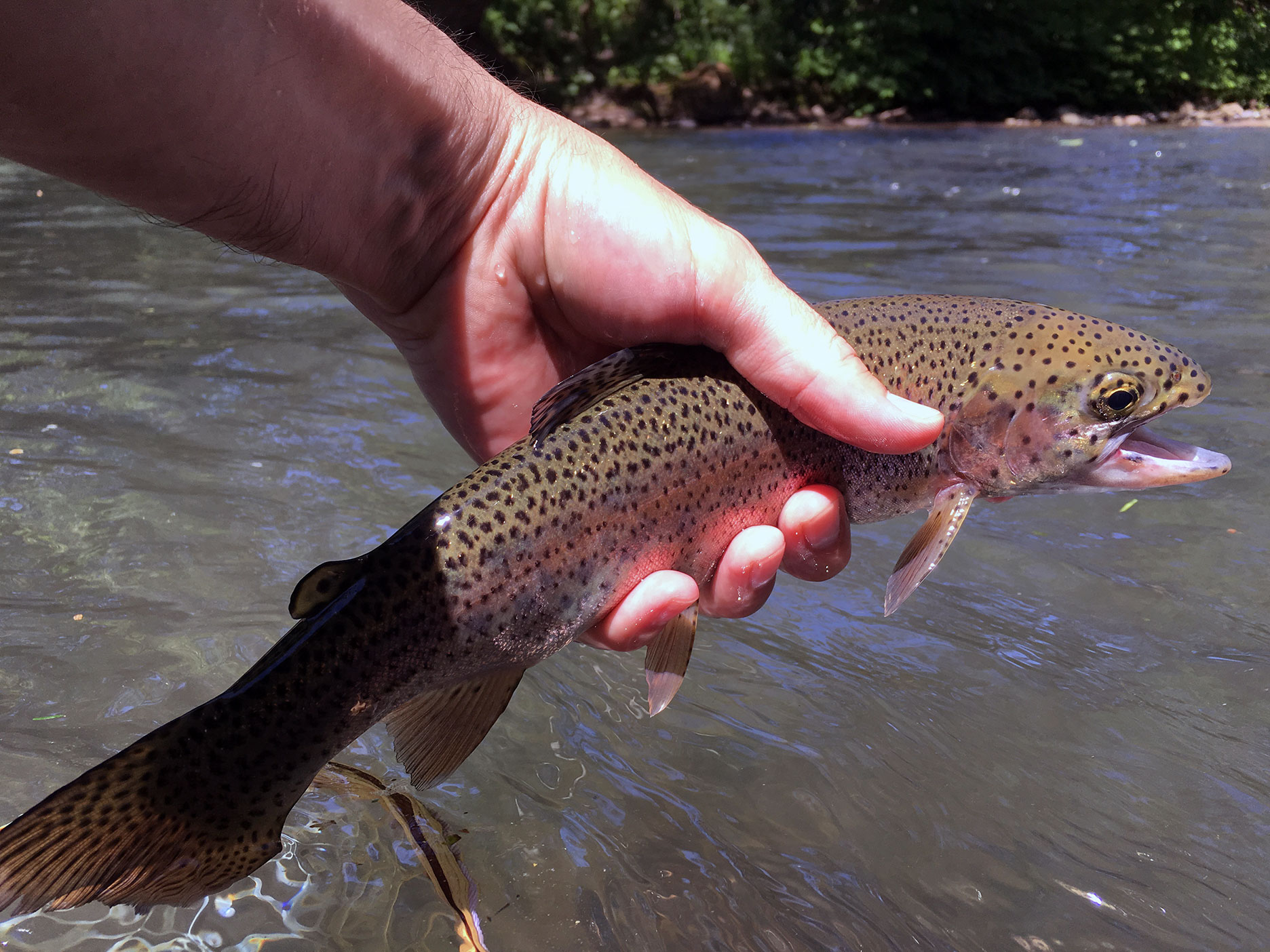 I caught several rainbows in the riffles as well.