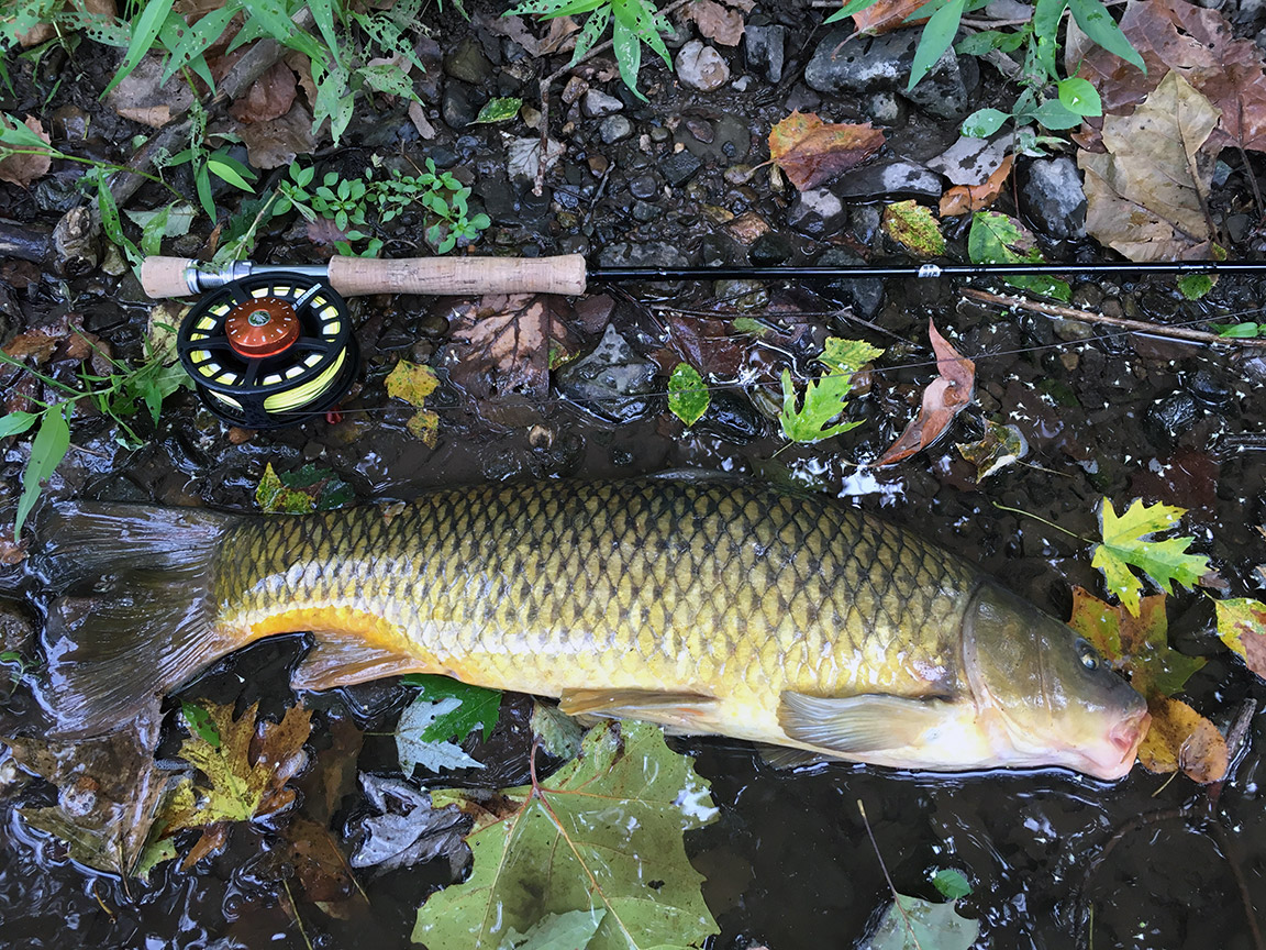 A common carp I caught while exploring downstream.