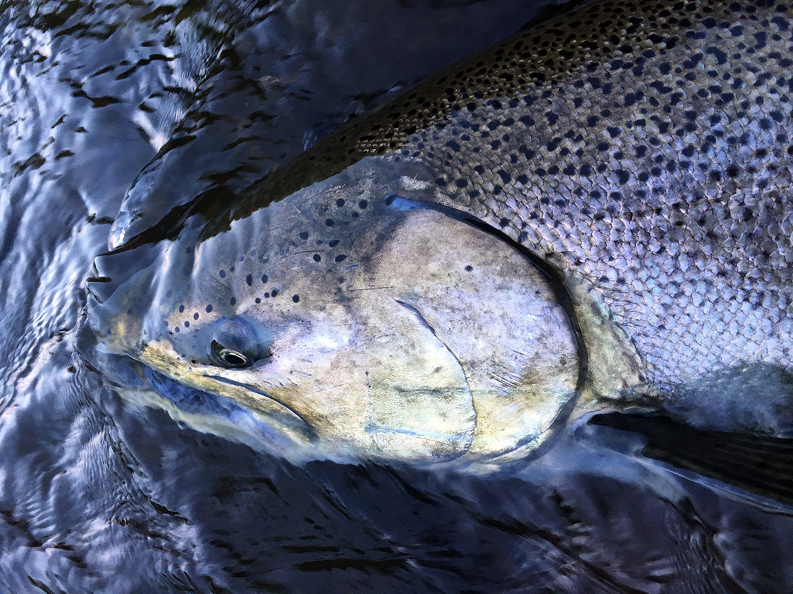 The colors of a Chinook can be vibrant when the light hits them just right.
