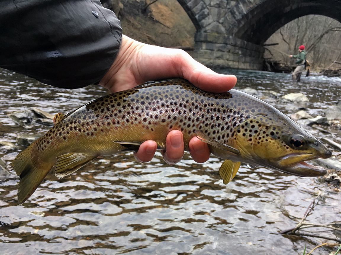 The beautiful brown that went over rock to take my fly.