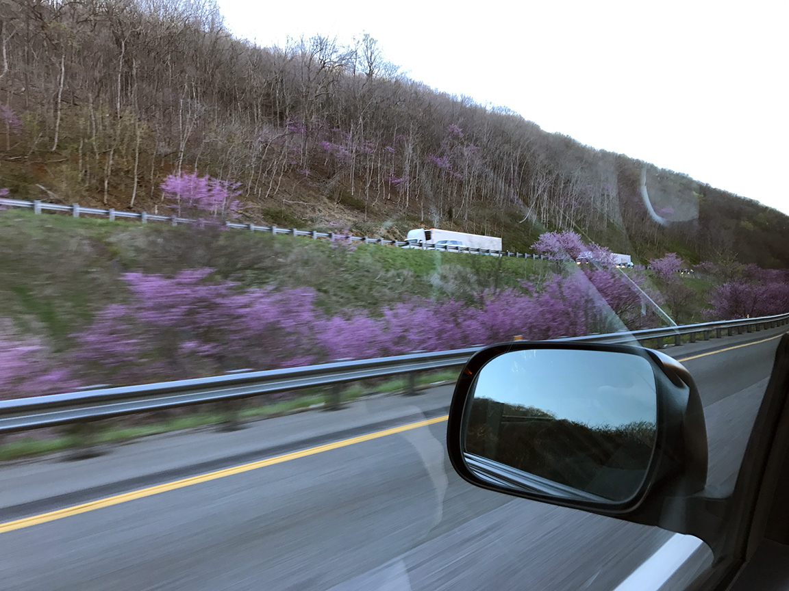 The Eastern Redbud trees in bloom along Rt. 81.