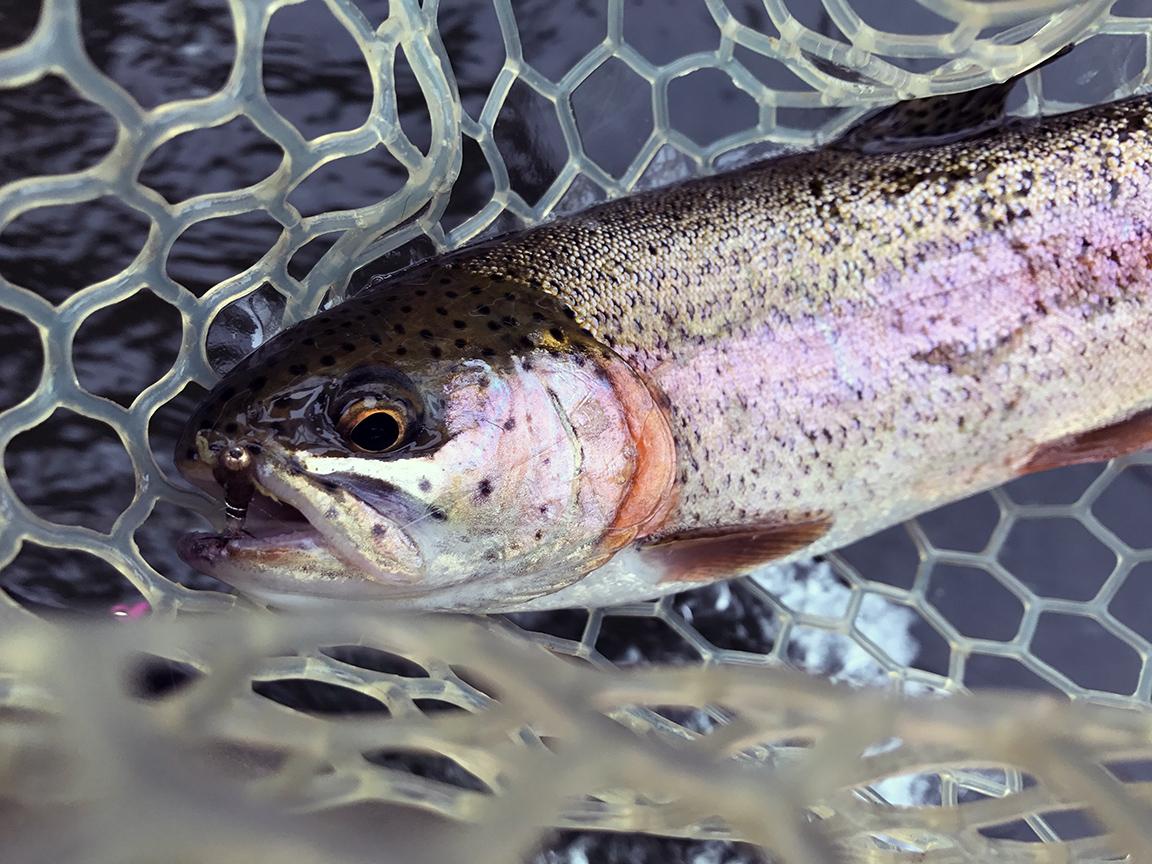 One of the many rainbow trout I caught at Black Walnut Bottom.
