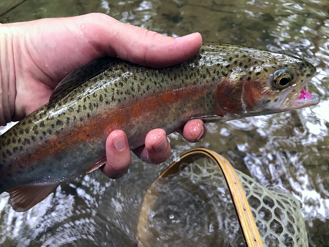 One of the healthy rainbow trout I caught that looked liked a holdover fish.
