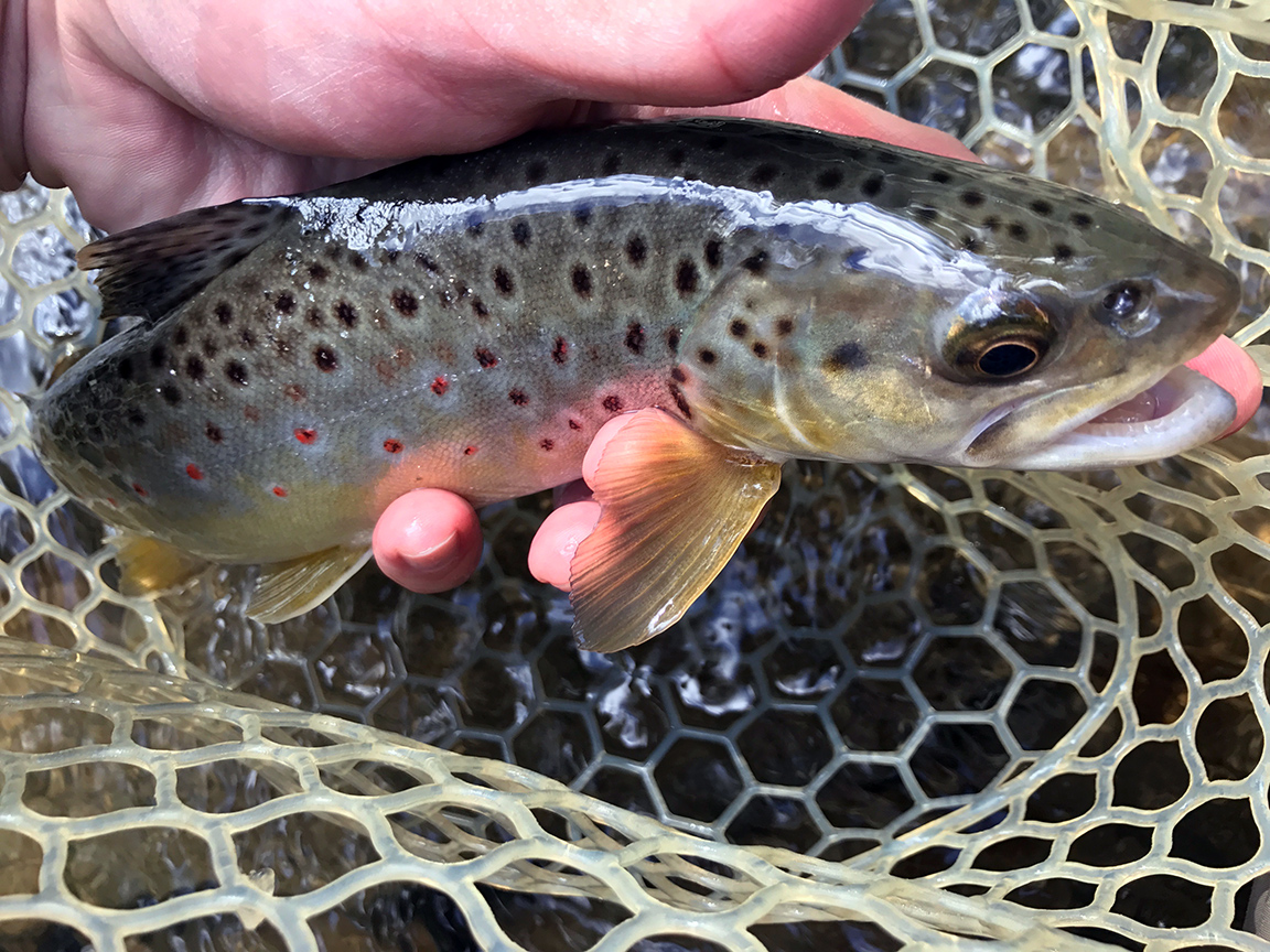 The colorful wild brown trout I landed in the riffle below the Mid-State Trail Bridge.