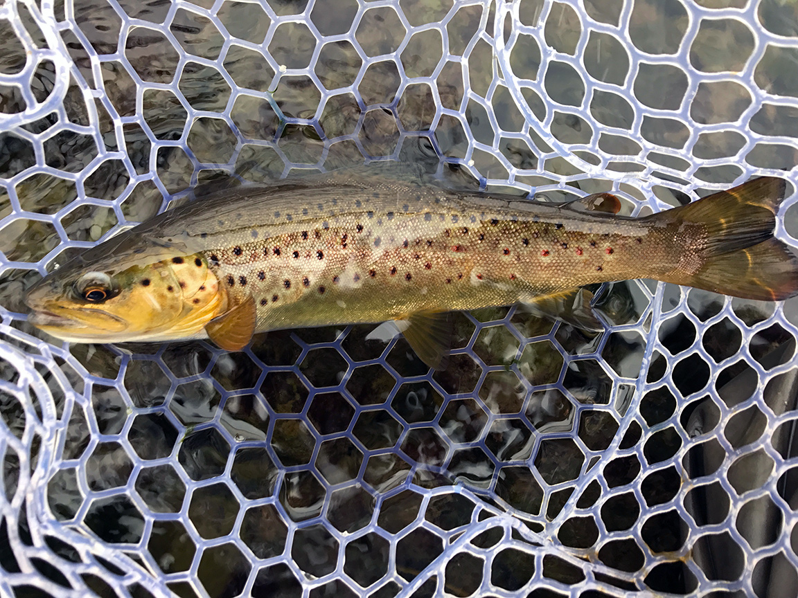 browntrout.jpg
