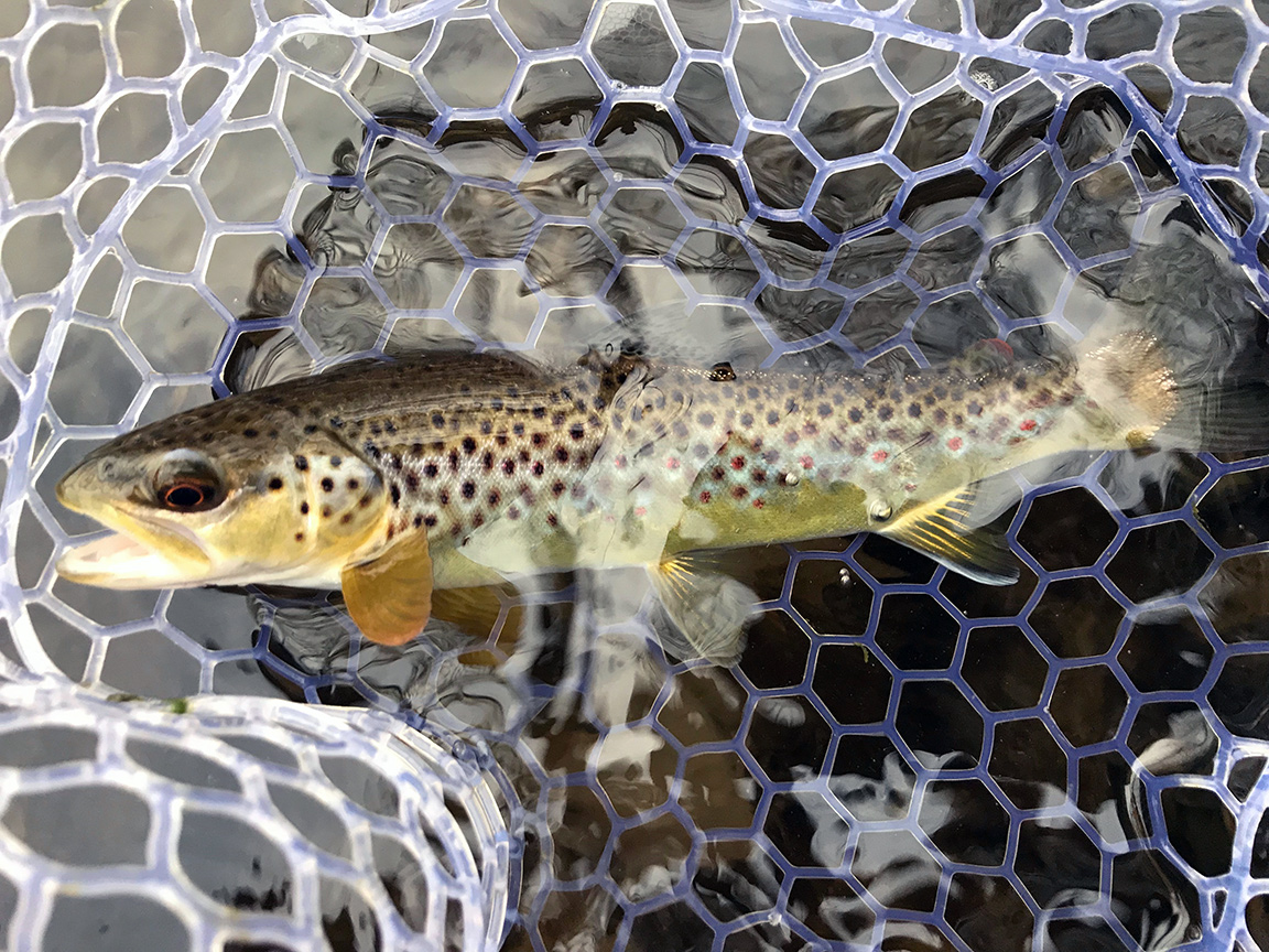 "The first wild brown trout I caught on the ""Little J"" on Sunday afternoon."