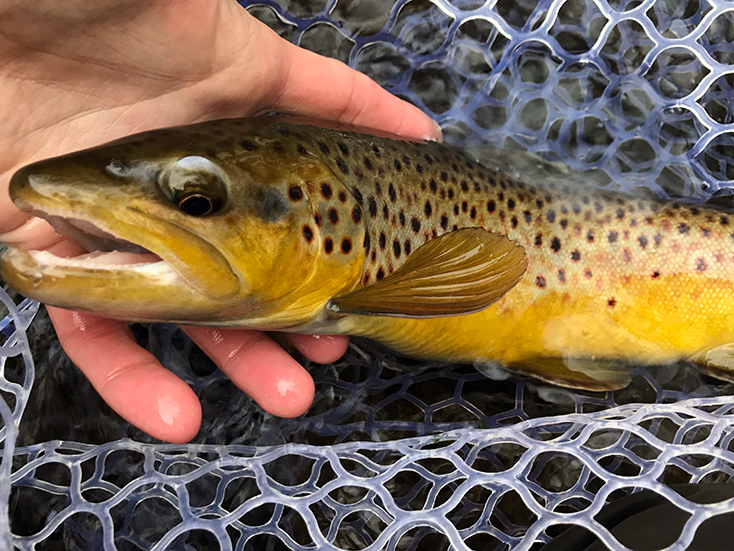 The buttery wild brown trout I caught on a #20 Black Zebra Midge.