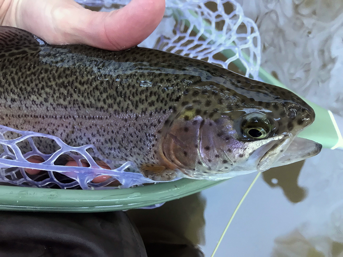 The first rainbow trout I caught on Saturday.
