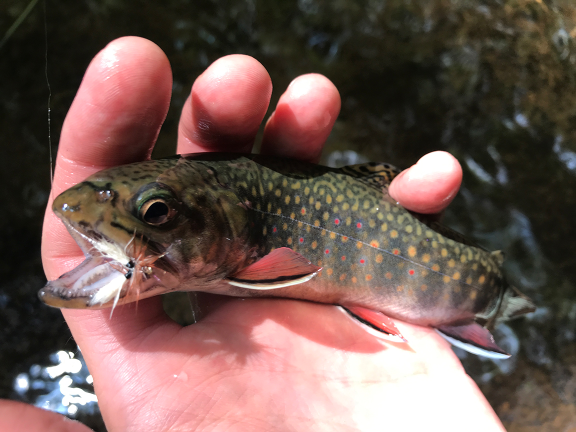 The first brook trout I caught in the Allegheny National Forest on Irwin Run.