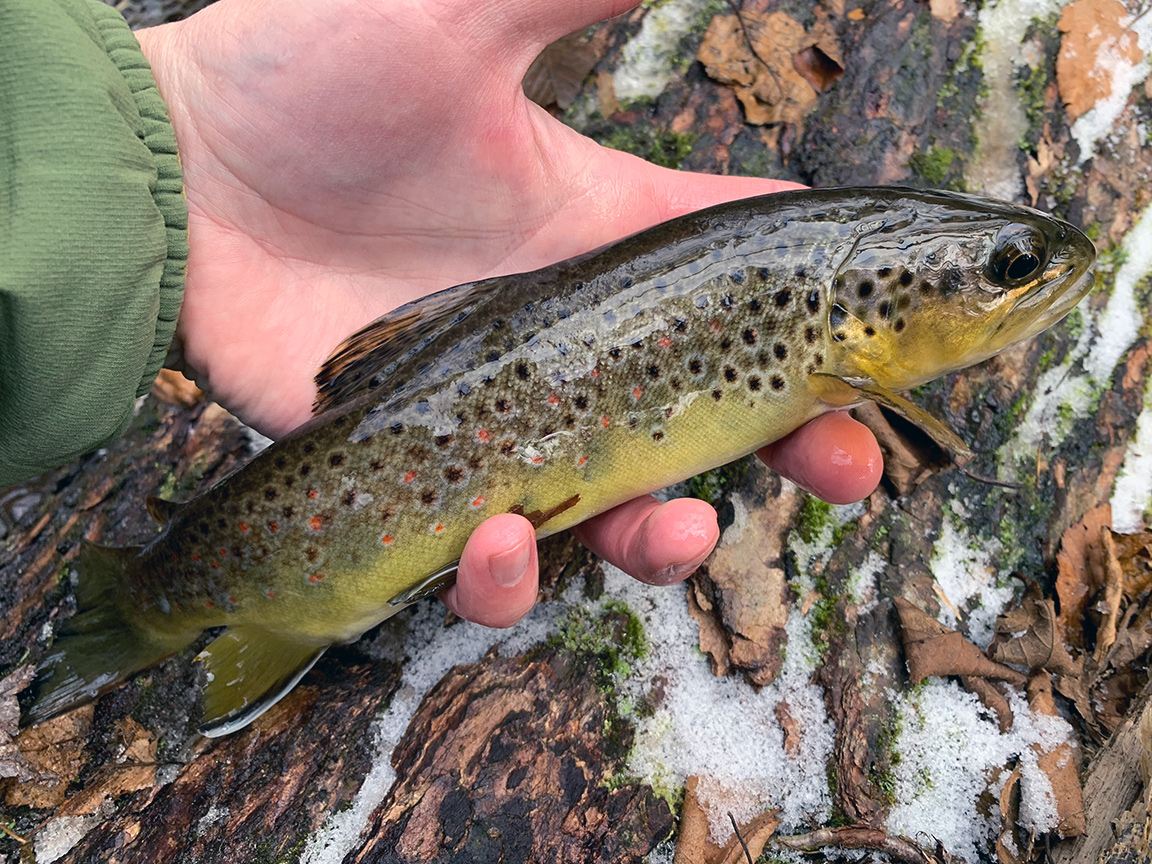 The unexpected brown trout I caught.