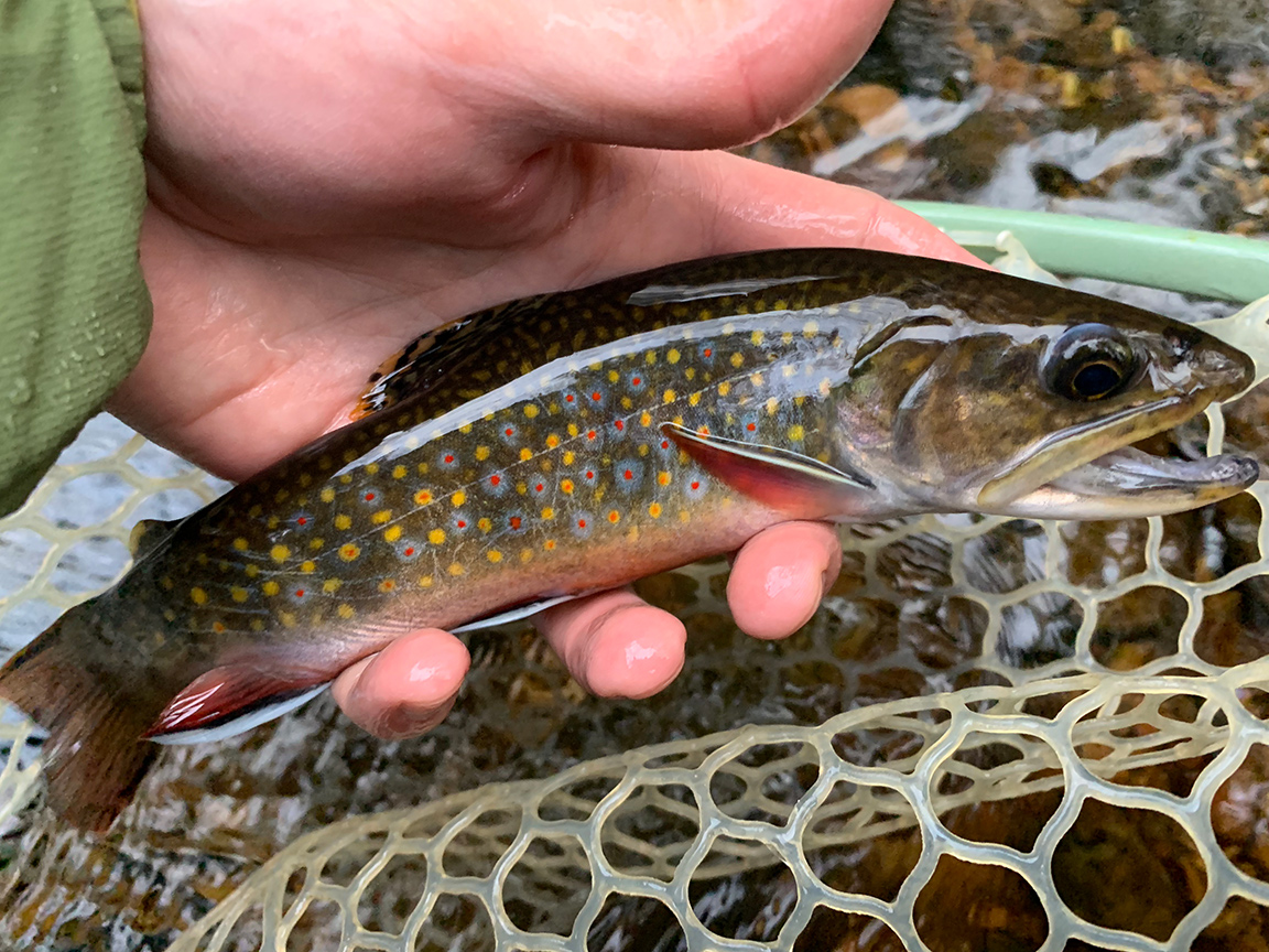 The beautiful brook trout that took my Psycho Prince Nymph pattern.