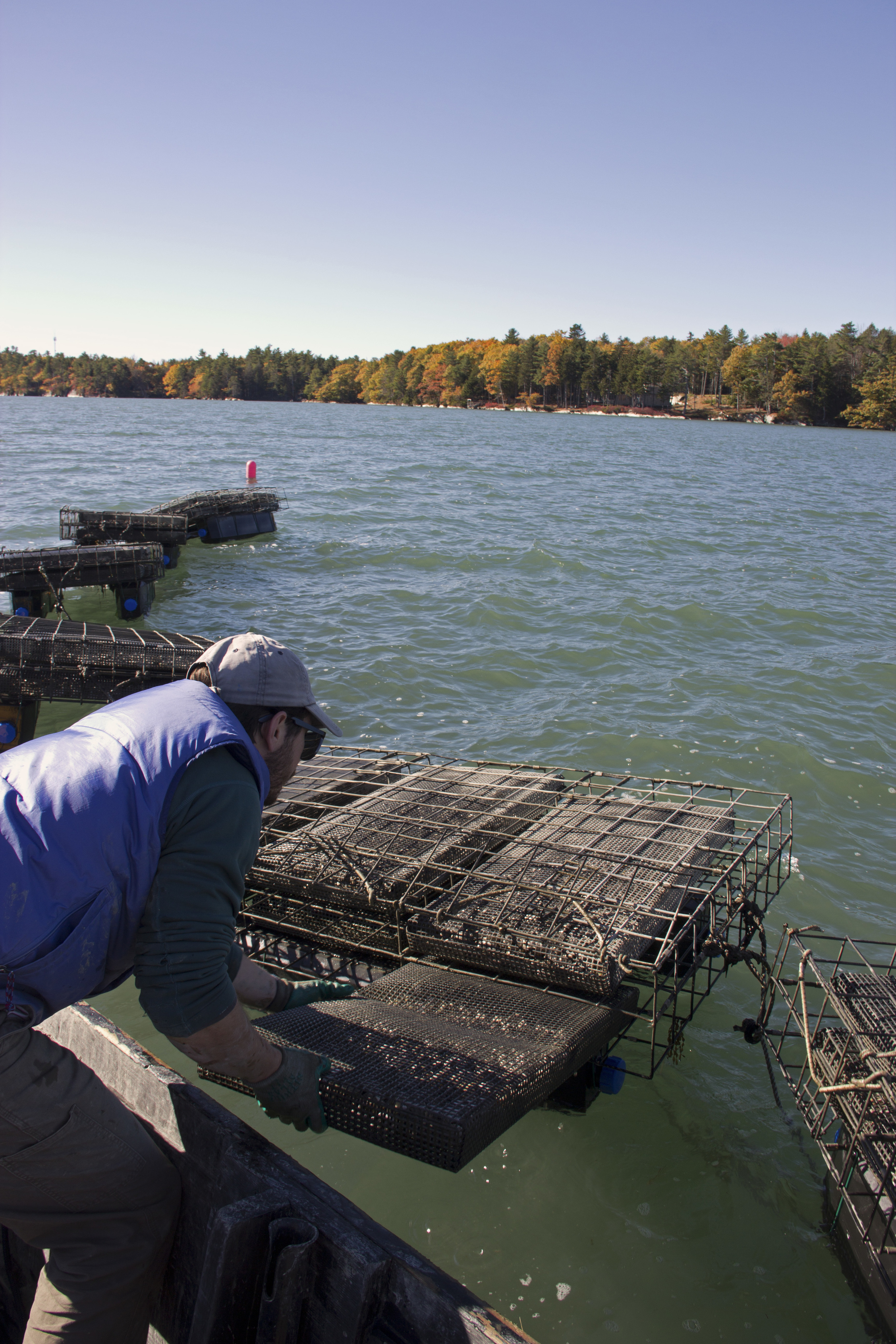 Pulling a bag of oysters from a cage