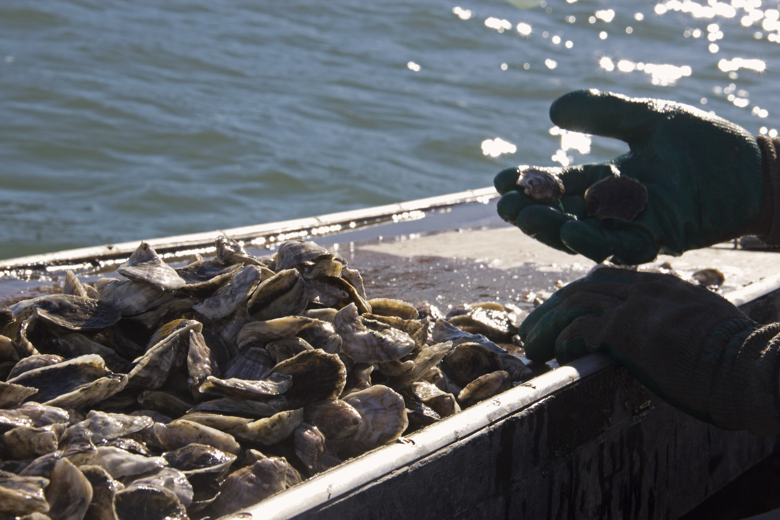 Oysters in Hand.jpg