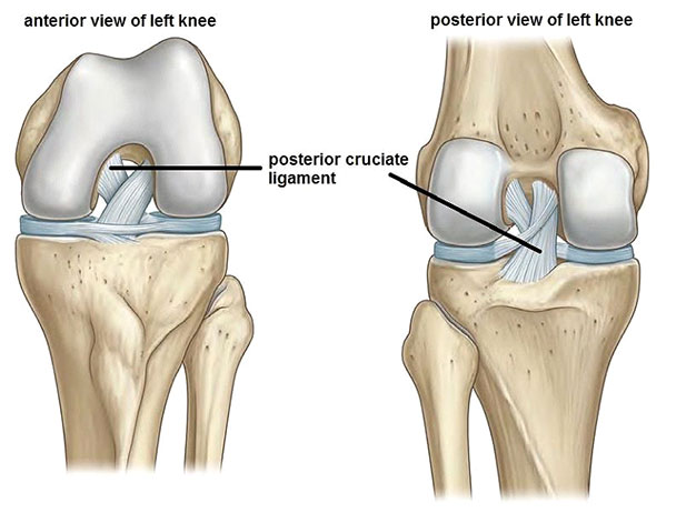Illustration source:http://www.hip-knee.com           Anterior = Front                              Posterior = Back