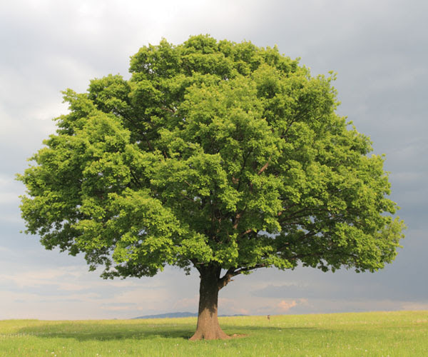 Image courtesy: Shutterstock  Something suddenly dawned on me. Now, normally, as a kid, when we would draw a tree, most of us would draw a thick brown trunk and top part being green, as shown above. But then, thats what we see when we look at a tree from a distance. Thats what I always saw all these trees lining up this and other roads where I would run. I had never stopped and paid attention to the obvious.