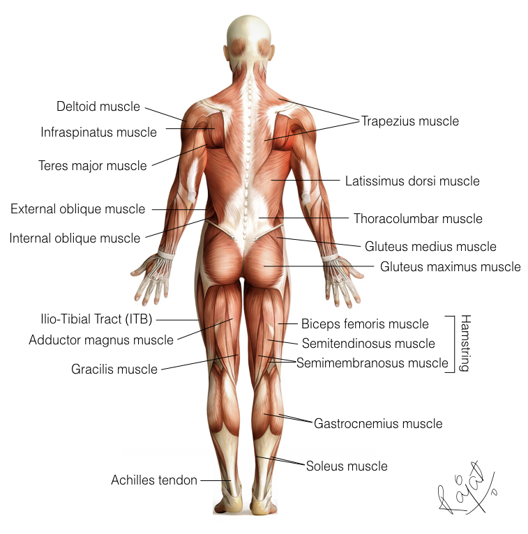 There is no one super-hero muscle, ligament or tendon. They all work in synchronisation with all the others. Work on everything.