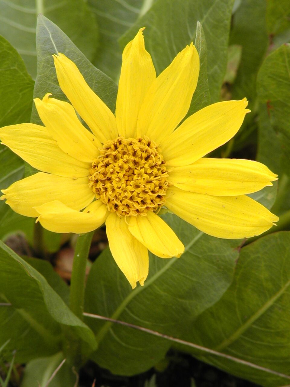 Ron Halvorson also contributed gorgeous photos like this one of mule's ears (Wyethia amplexicaulis).