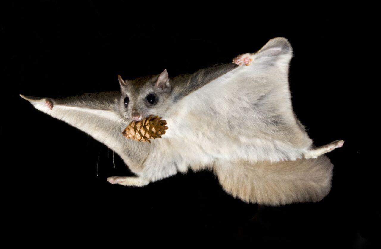 Northern flying squirrel. Photo: Alex Badyaev