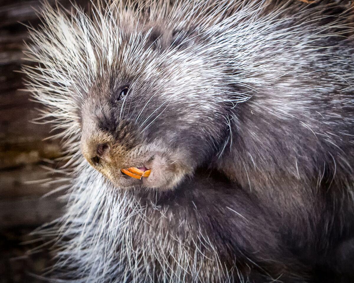 porcupine. photo:  jon nelson