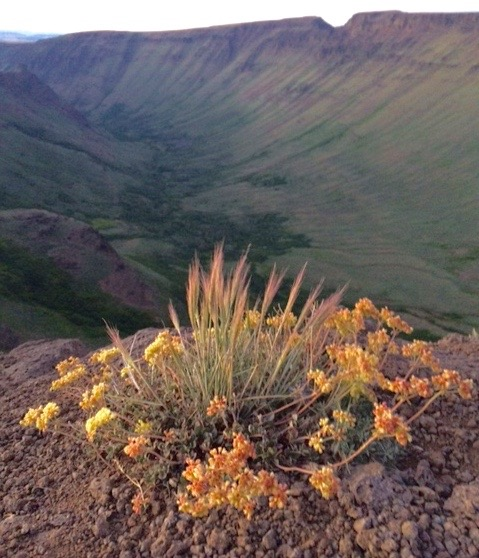 Kiger Gorge overlook, with buckwheat and squirreltail bottlebrush in foreground. Photo: Katya Spiecker