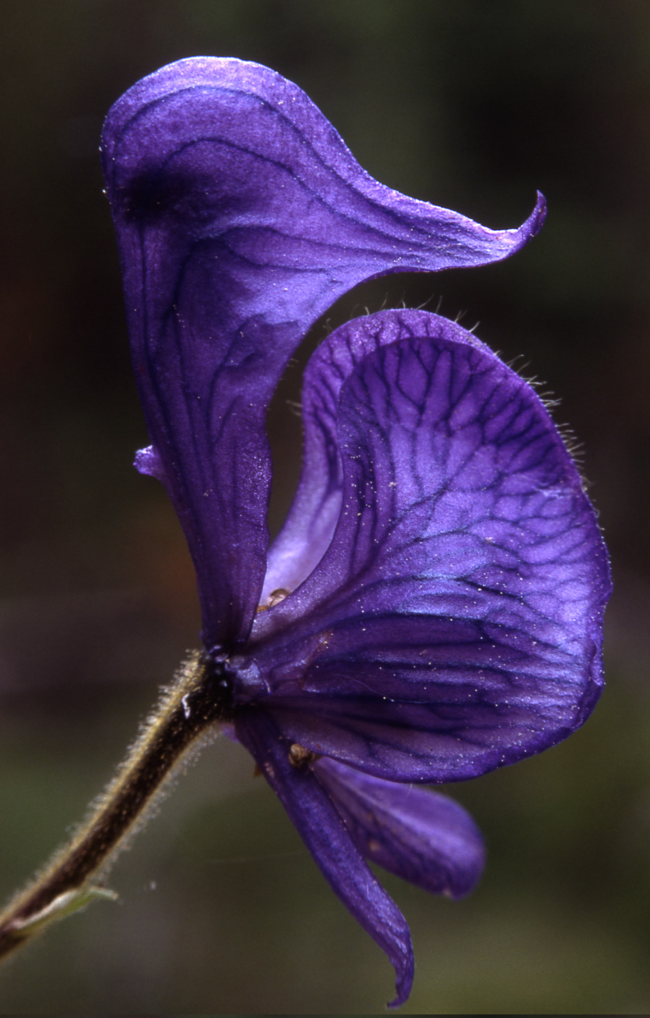 Gorgeous pic of monkshood by J. Schmidt of the National Park Service. https://commons.wikimedia.org/wiki/File:Aconitumcolumbianum.jpg
