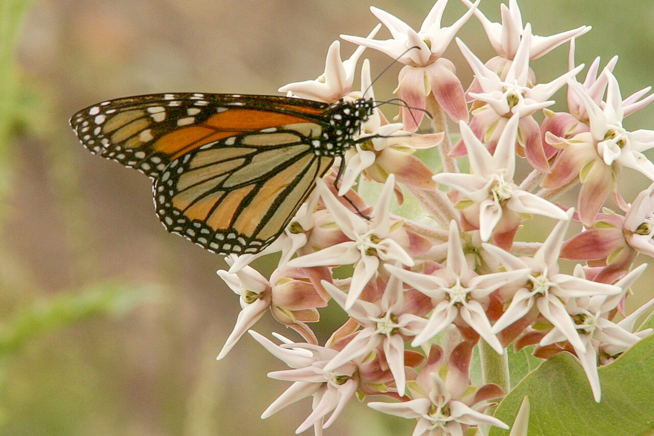 Have you planted your milkweed yet? If you plant it, Monarchs will come! Photo: Sue Anderson