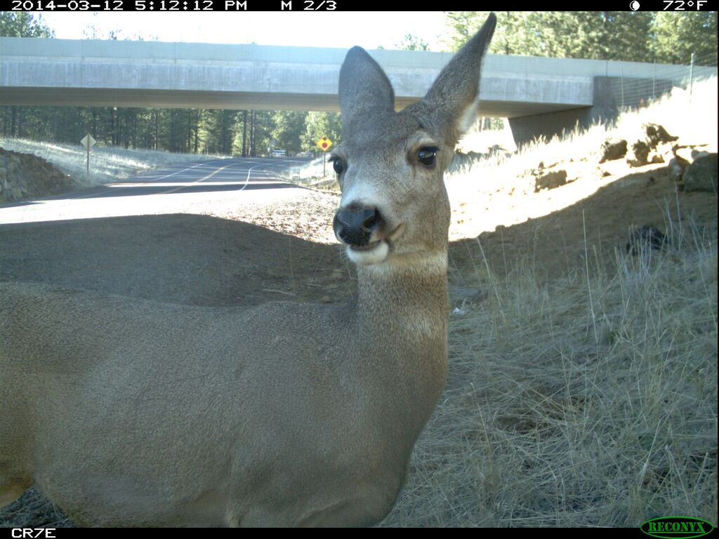A deer shocked by our lack of understanding. Photo:Leslie Bliss-Ketchum (captured by a camera at the Sunriver underpass)