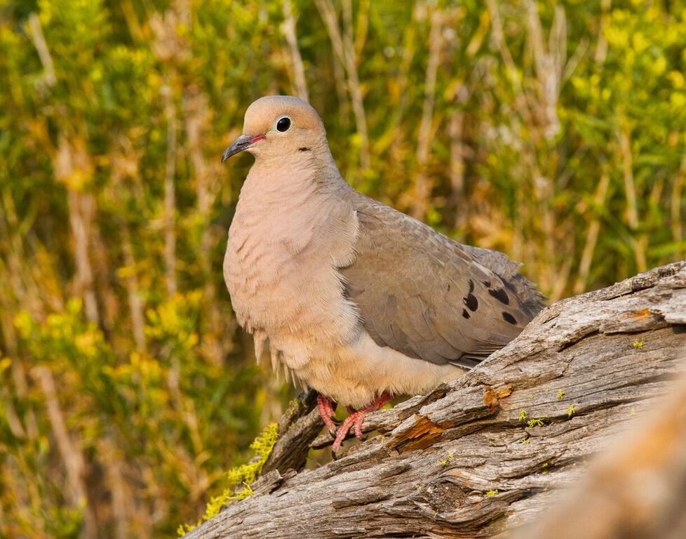 Mourning doves are native, and may be getting pushed out by the larger Eurasian collared doves. Photo: Tom Lawler