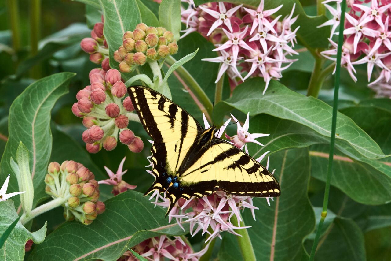 Western Tiger Swallowtail on milkweed. Photo: Kim Elton