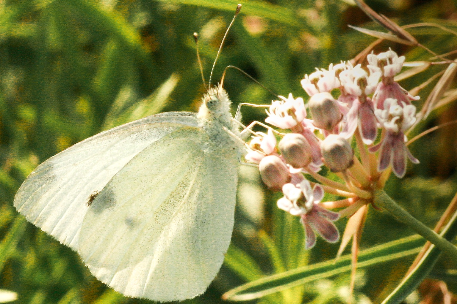 Here's looking at you, Cabbage White. Photo: Sue Anderson