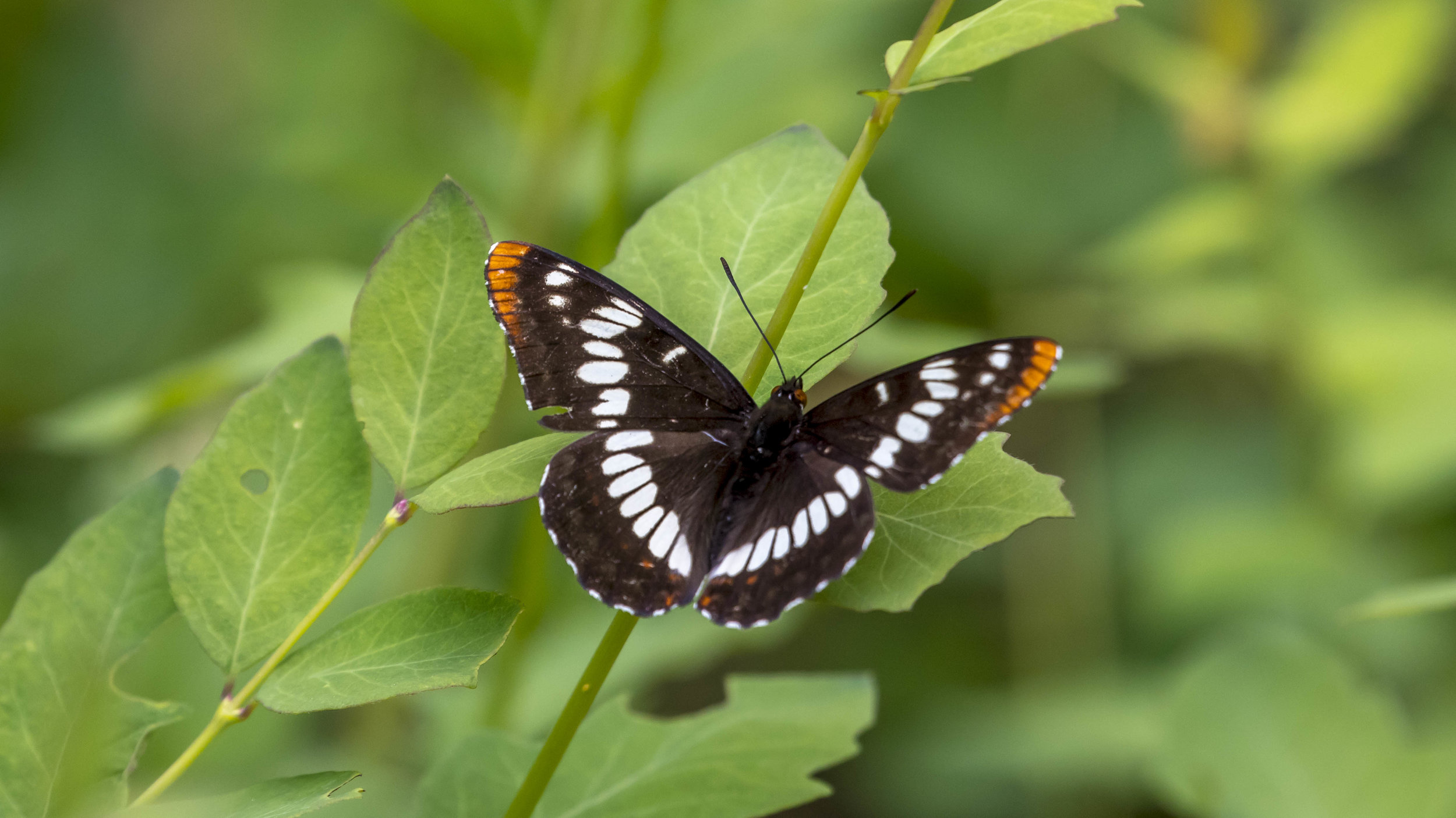 This Lorquin's Admiral smells using the tips of its antennae. Photo: Dave Rein