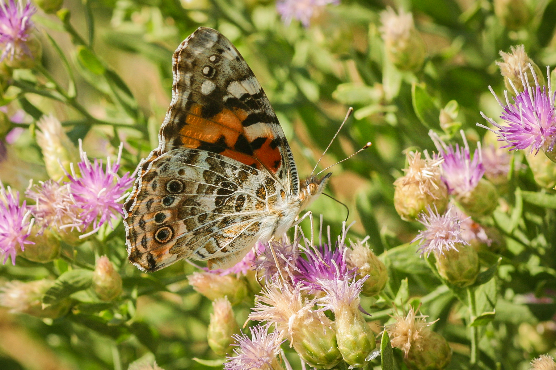 A Painted Lady dips her proboscis into a flower. Photo: Sue Anderson