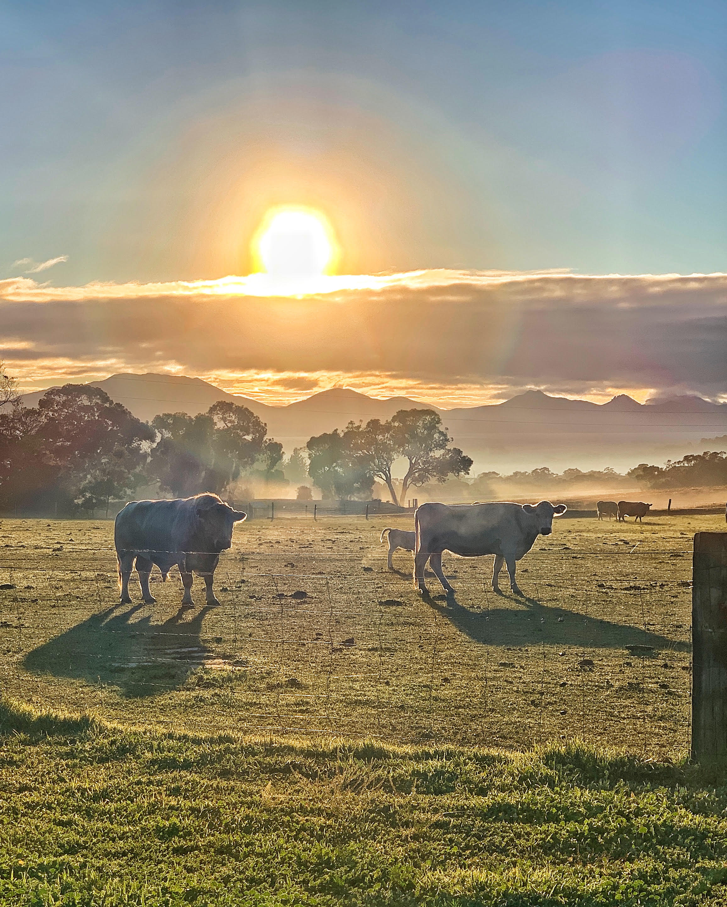 Photo of cows credit Genevieve Milnes.jpg