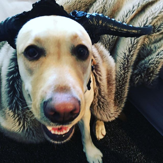 Possum has been watching Game Of Thrones this week - mostly for the Hound and the dragons. If you look closely, you may notice she's wearing my costume for the RWA cocktail party... #writerswithdogs #winteriscoming #writingpartner