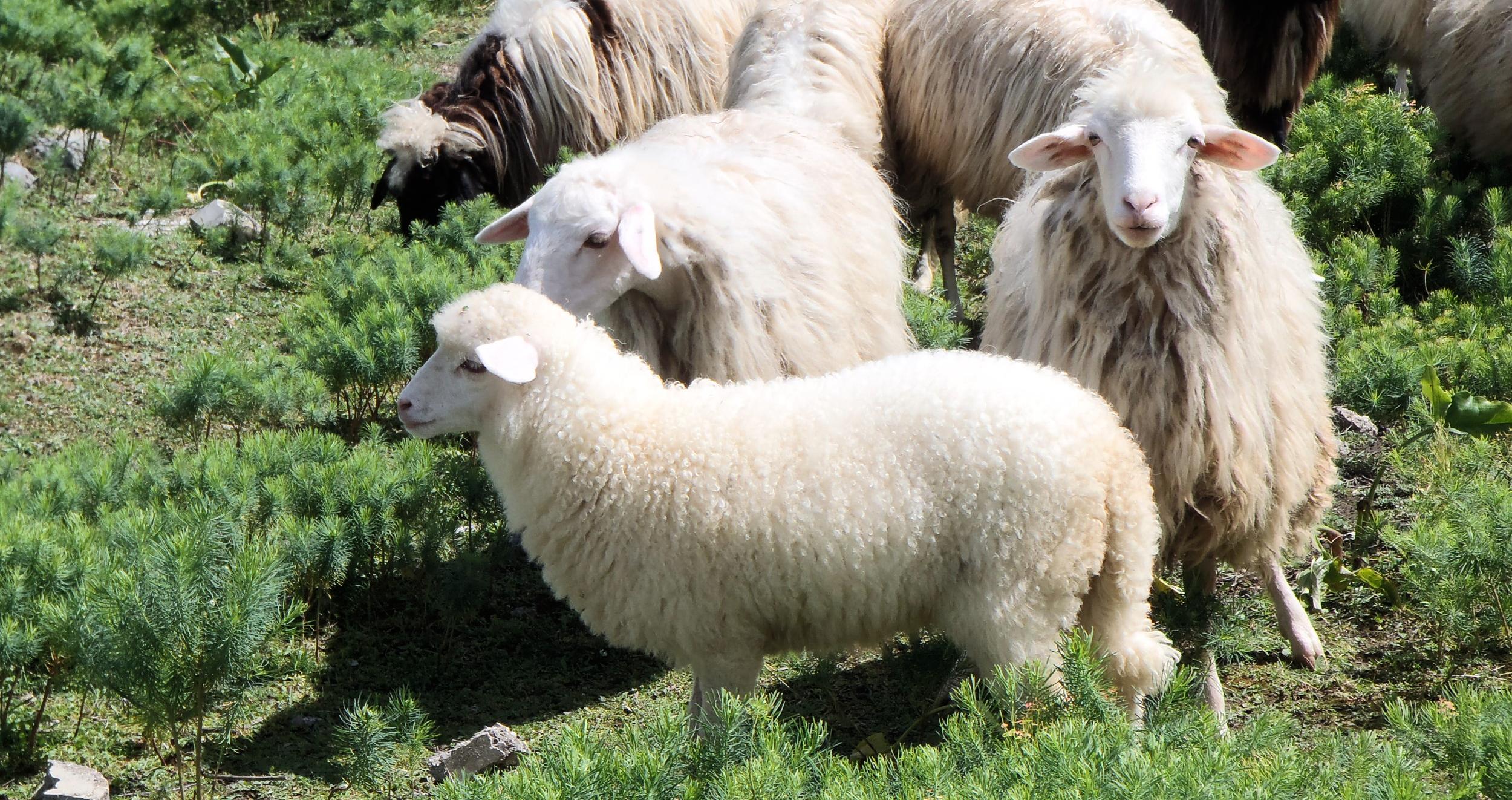 Sheep are cute ok.