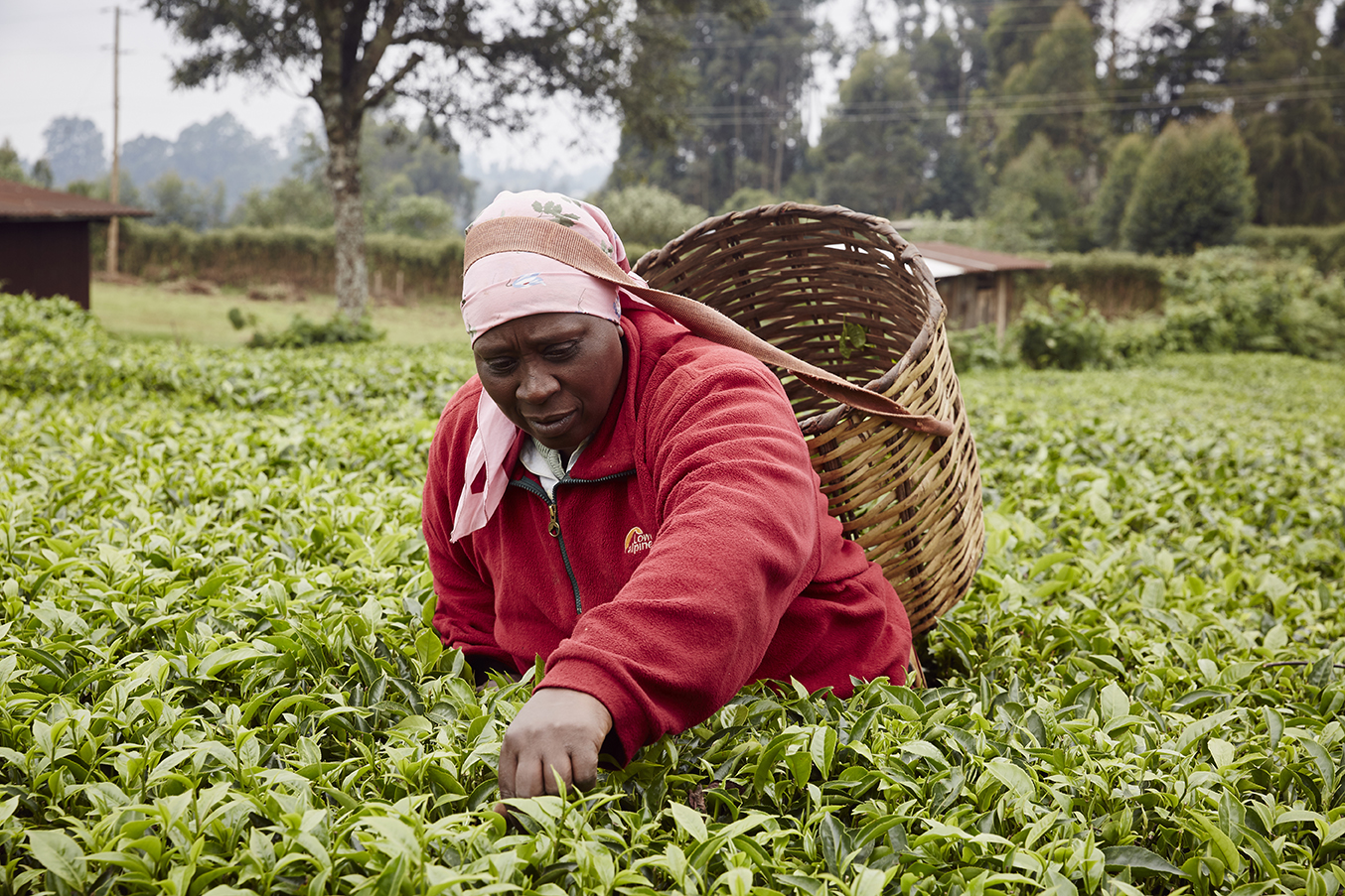 Alice is a farmer from Makomboki, Kenya. She has been working in the tea industry for 30 years and makes the majority of her income selling green tea leaves. She picks with her family all year round and is able to employ casual workers during peak season.