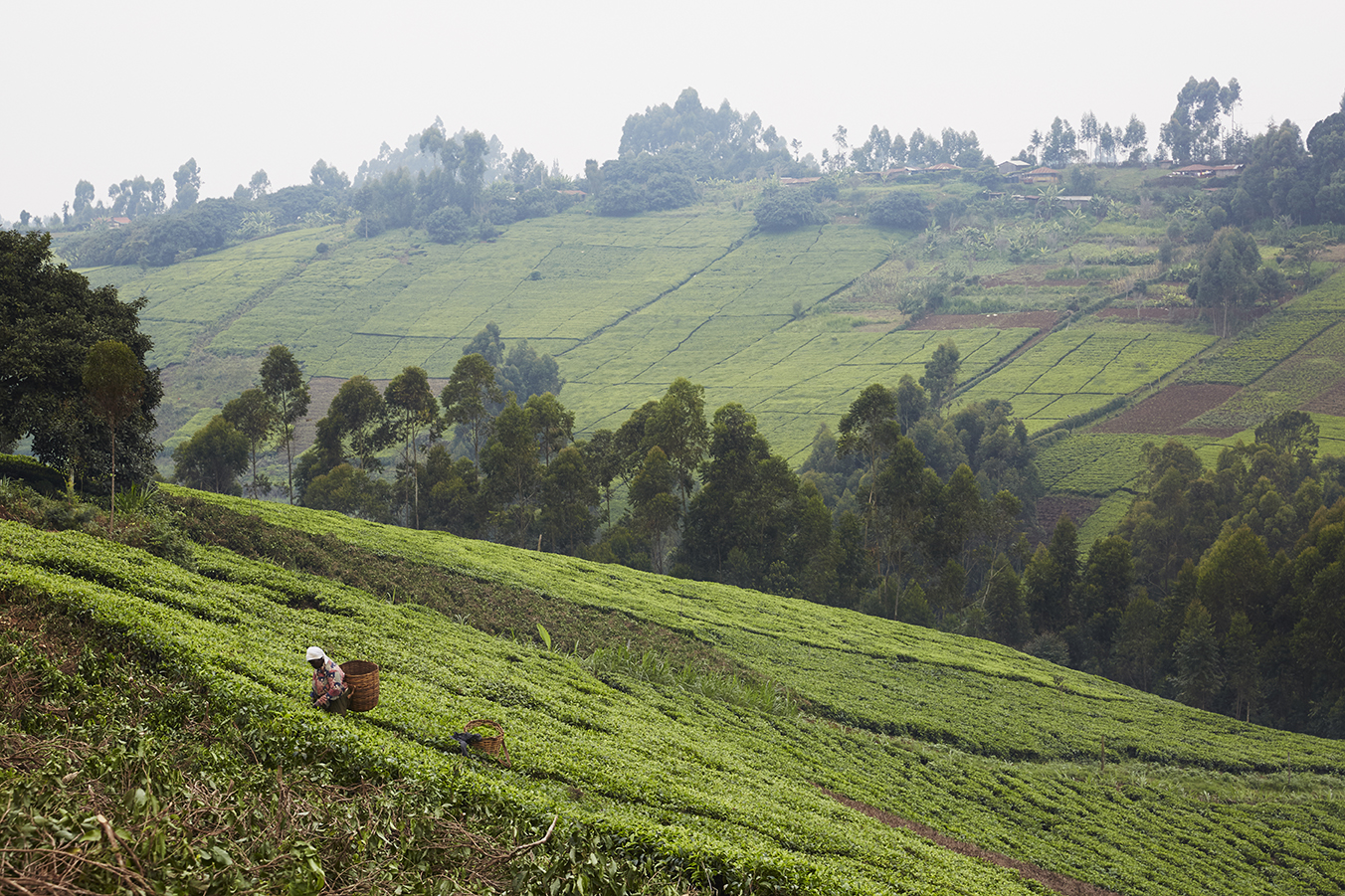 Mokomboki landscape. The area under tea is 1742 hectares with a total of 16,389,667 tea bushes .