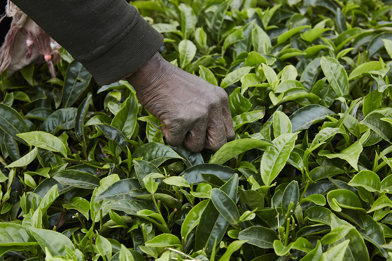 Young light green tea leaf is can be picked every 7 days. Farmers rotate the areas they pluck so they can pick tea everyday.