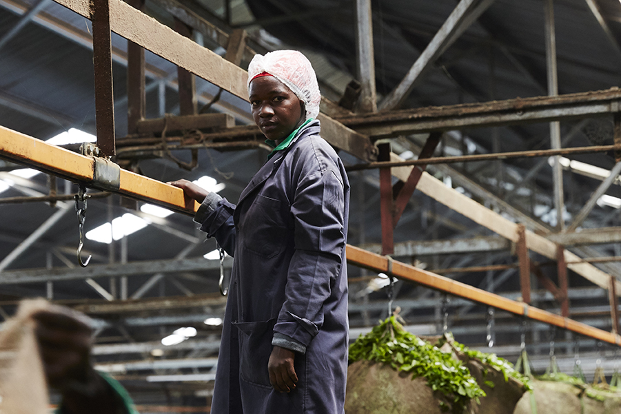 A factory workers monitors the large quantities of green leaf as it starts the withering process.