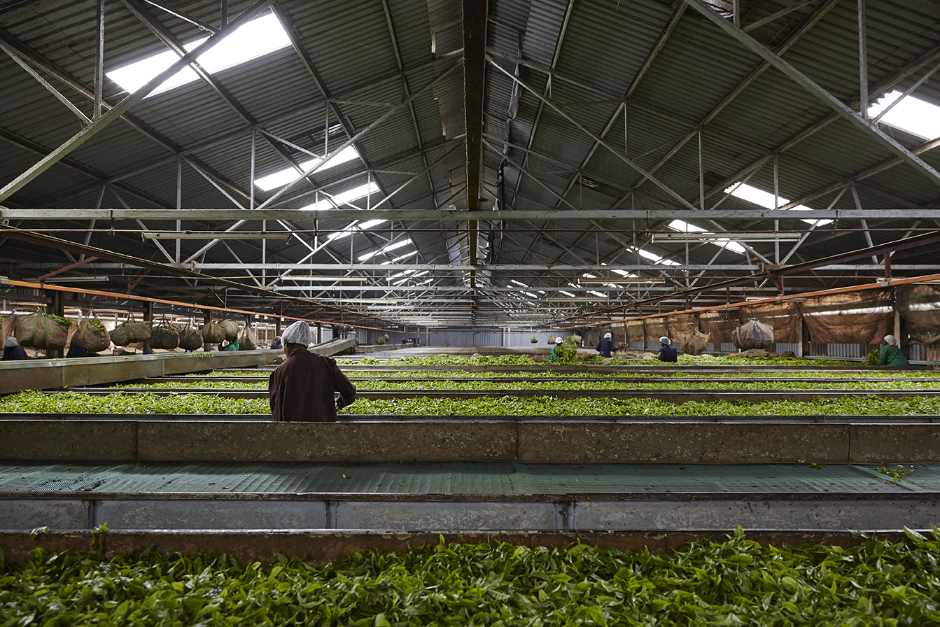 First the green leaf is withered in large troughs with hot air to reduce the moisture in the leaf.