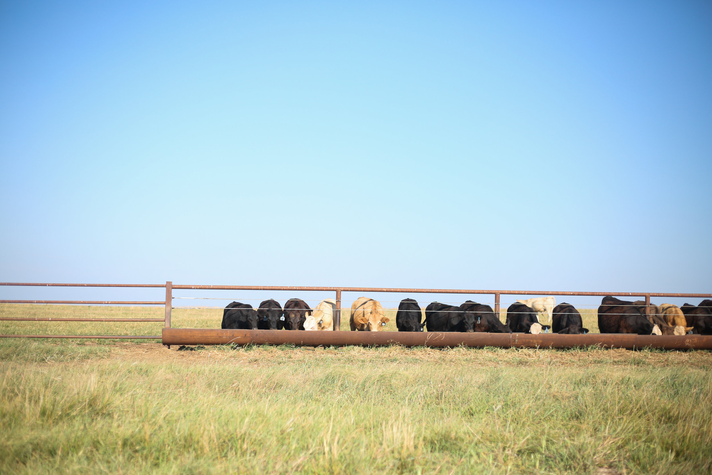 Cattle feed in a pasture at Stierwalt Ranch in Burbank, Oklahoma.