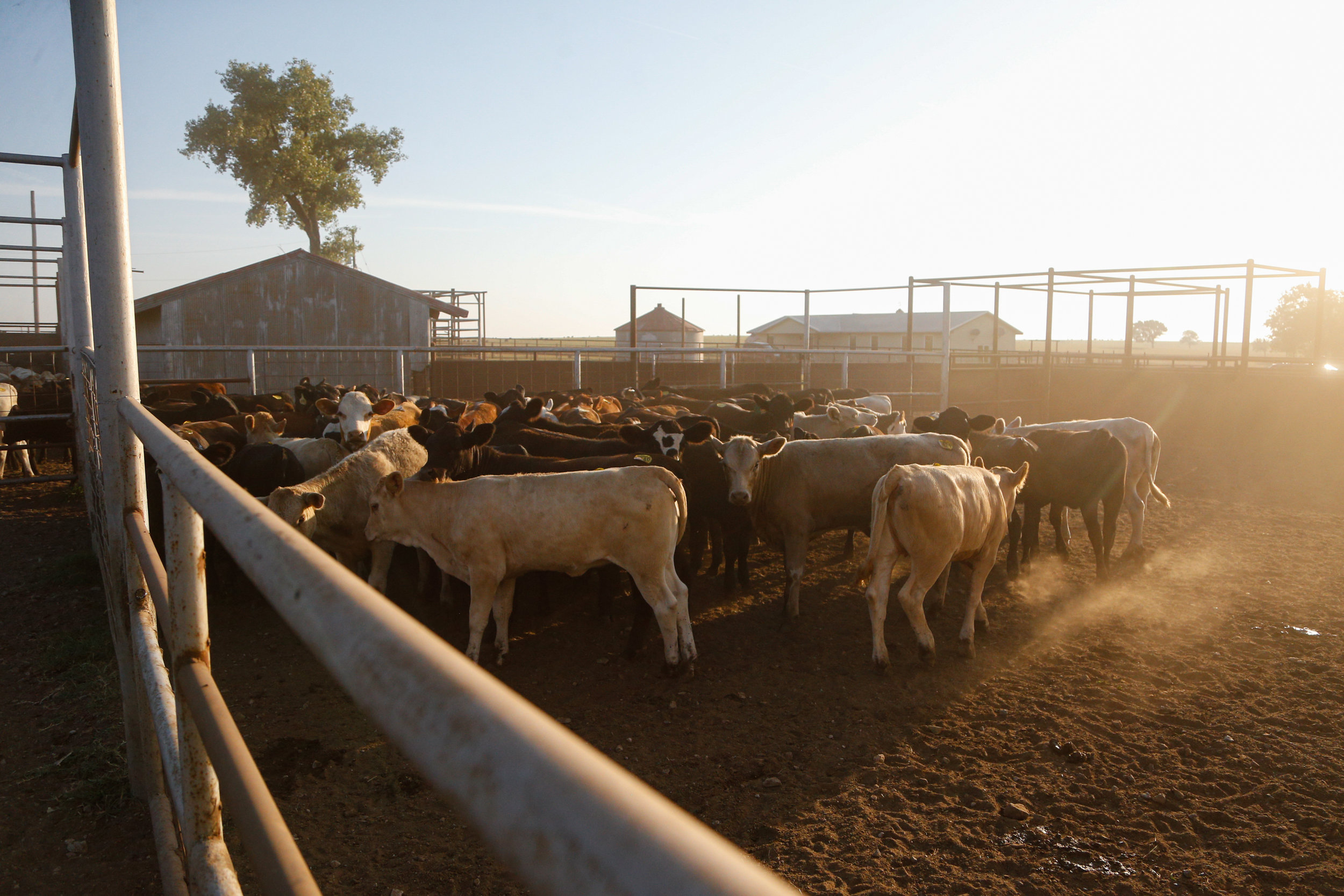 A new shipment of cattle await processing at the Stierwalt Ranch in Burbank, Oklahoma.