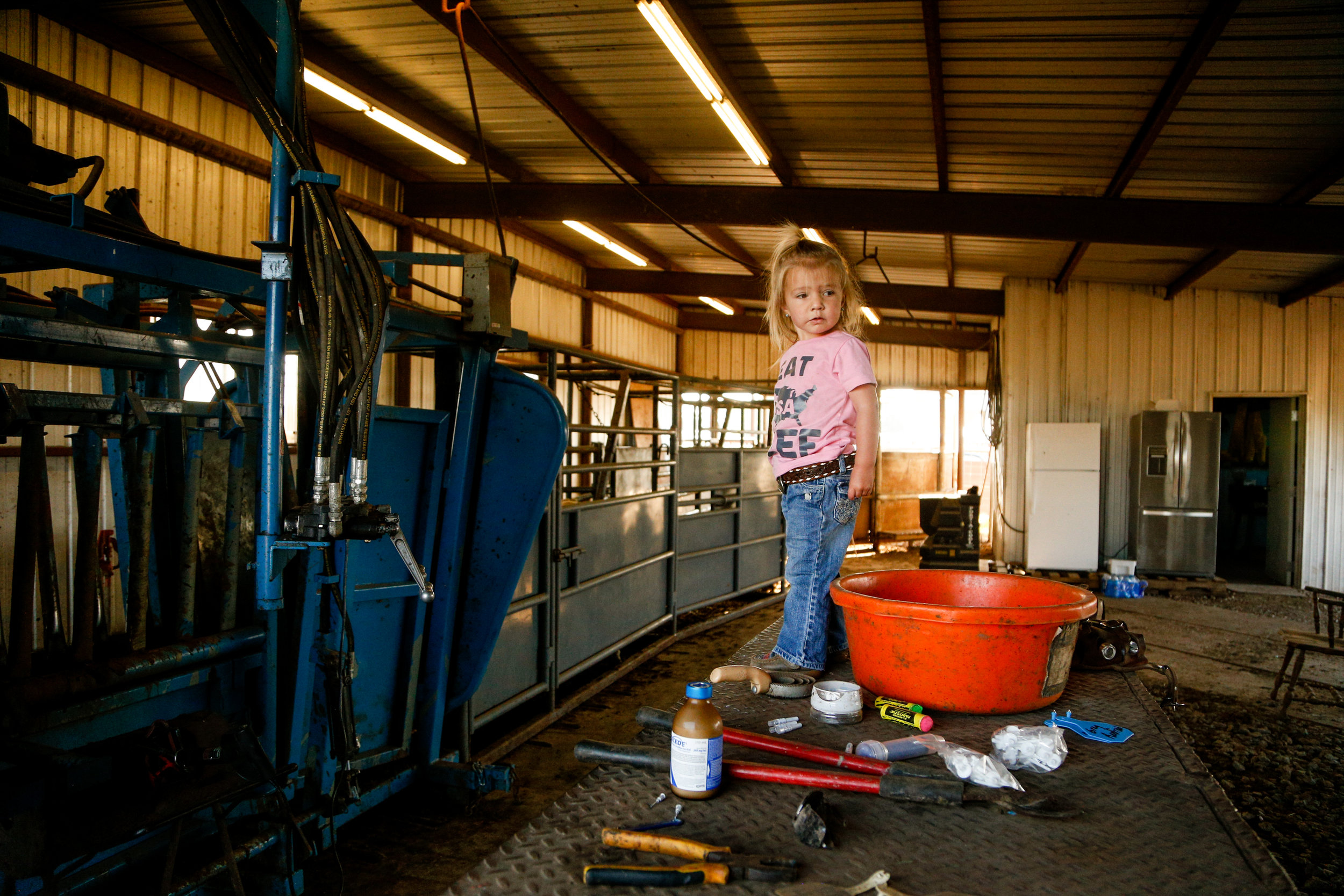 2-year-old Sonora Stierwalt stands on a table where her father set her for a moment while processing a new shipment of cattle at Stierwalt Ranch in Burbank, Oklahoma.