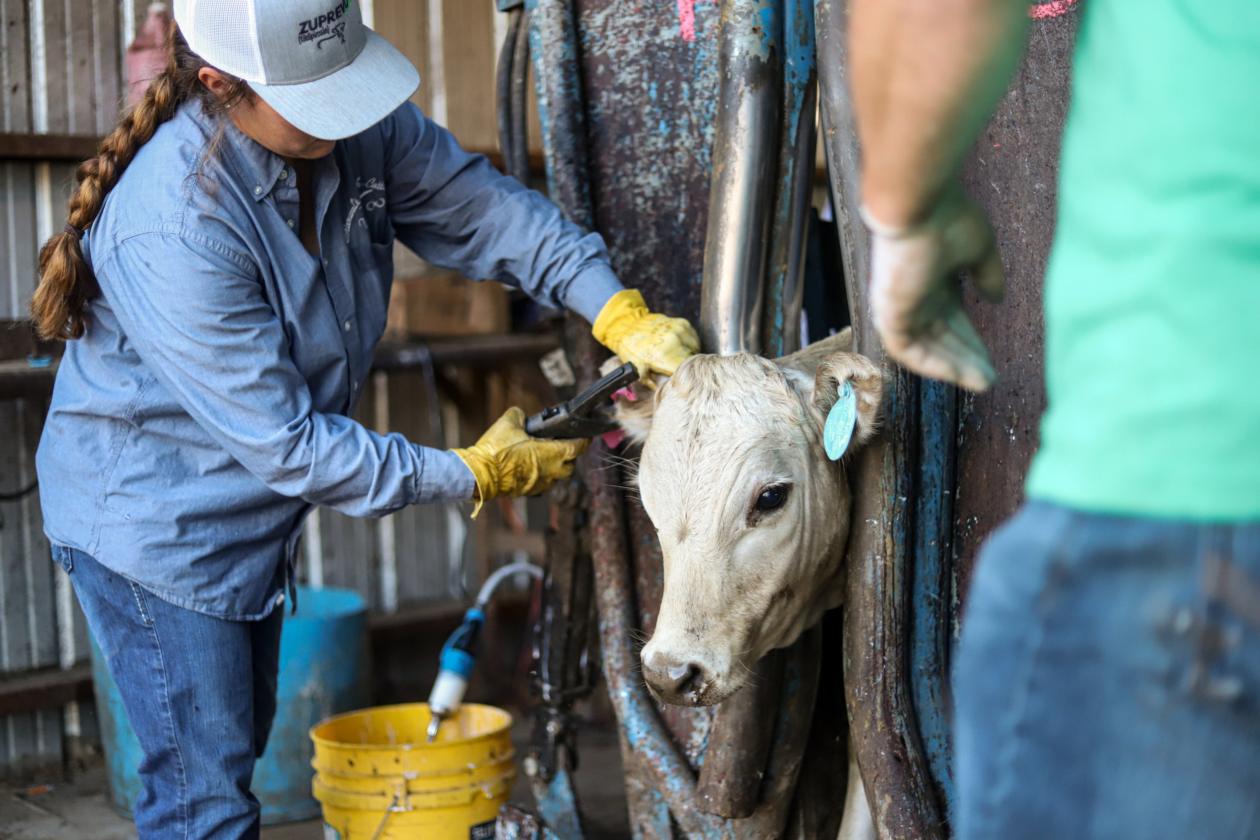 Jenna Stierwalt and Gene Renfrow tag a cow while processing a new shipment of cattle at Stierwalt Ranch in Burbank, Oklahoma.