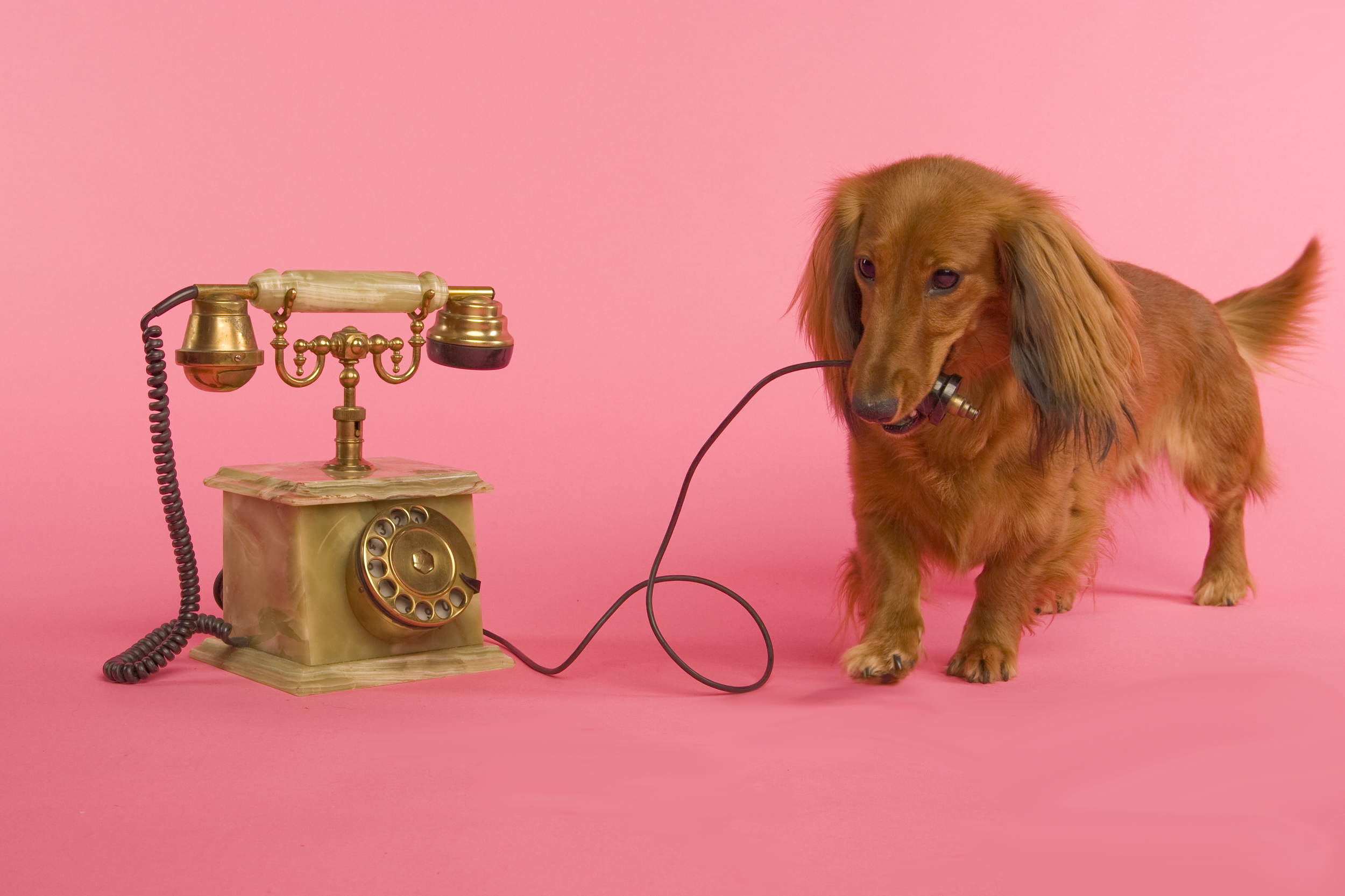 doxie with phone.jpg