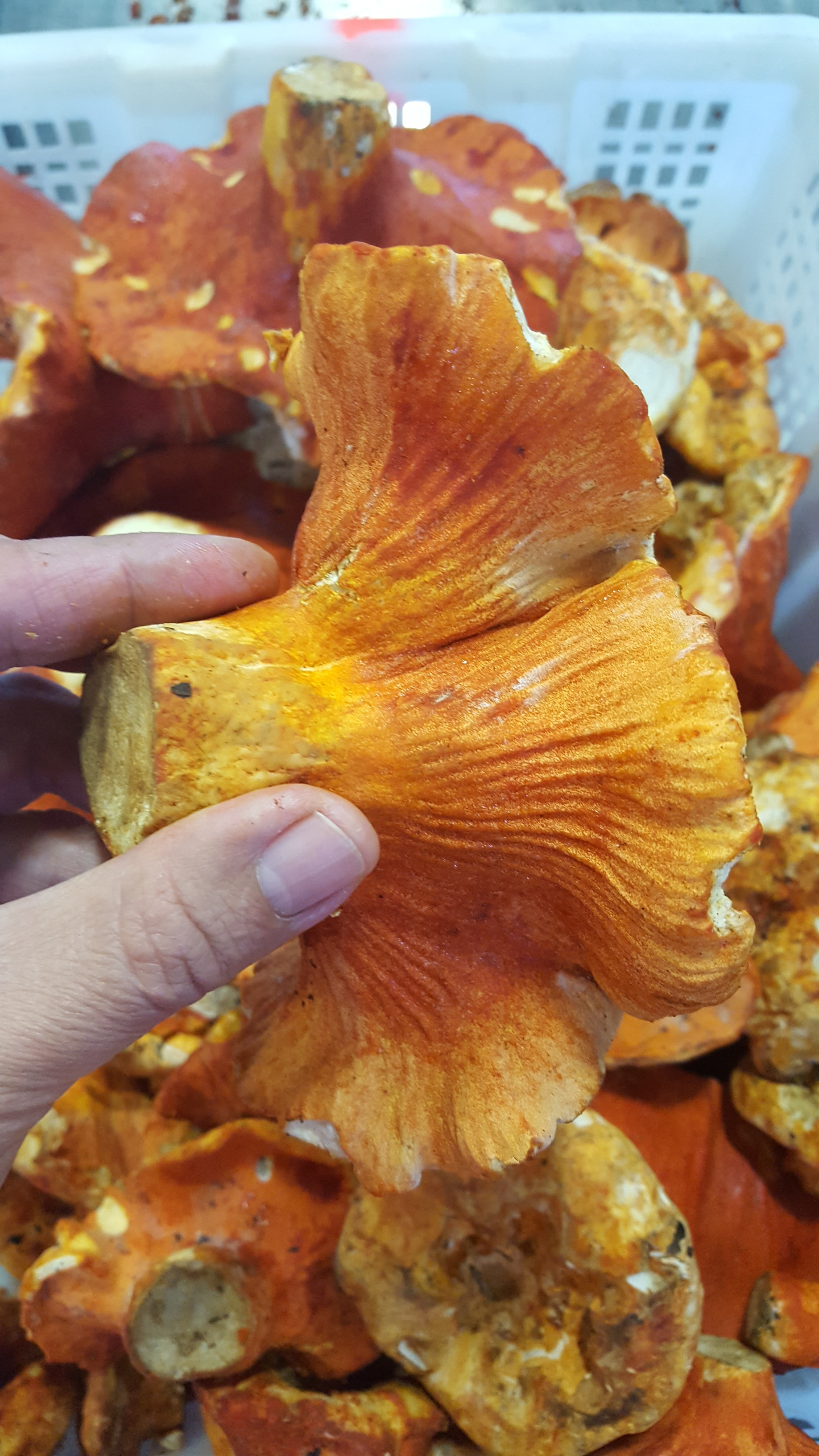 Beautiful lobster mushrooms